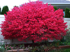 "Dwarf Burning Bush plant 4"" pot Hardy Shrub (Euonymus Alatus)"