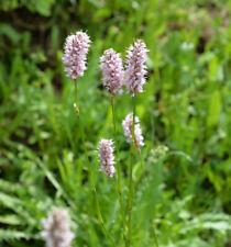 Persicaria filiformis Perlenschnur Knöterich Variegata