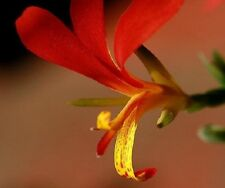 """Canna Lily (Canna indica) """"Indian Shot""""  x 5 seeds  will flower first year."""