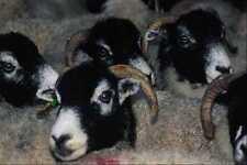 676076 Swaledale Sheep A4 Photo Print