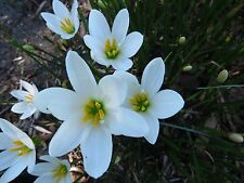 Rain Lily, Zephyranthes Candida #02 wide petals, 6 bulbs, habranthus