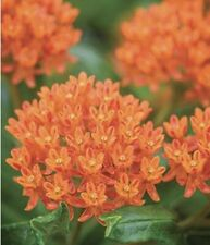 100 Plus Butterfly Milkweed Seeds-Open Pollinated-Non Gmo