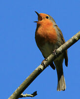 BIRD SONG CD RELAXATION MEDITATION & SLEEP AID SINGING BIRDS NATURE NATURAL  005