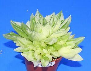 38052Haworthia cymbiformis variegata, phyto available