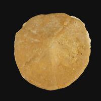 Fossil Echinoid Monostychia australis  Miocene, Morgan, Sth. Australia EA8011