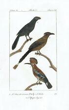 ANI HUTU UPUPA HOOPOE - Incisione 1800 Buffon Uccelli Ornitologia Hornitology
