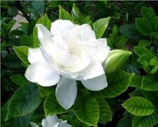 Perennial shrubs Flower tree seeds - Cape Jasmine gardenia evergreen shrubs