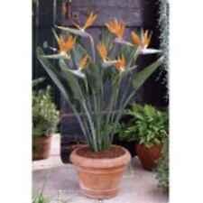 Strelitzia Paradies Vogel Blume Zimmerpflanze Pflanzen Samen
