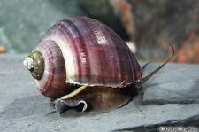 Black Mystery Snail Pomacea Bridgesii