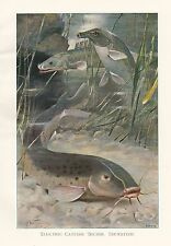 c1914 NATURAL HISTORY PRINT ~ ELECTRIC CATFISH BICHIR TRUNKFISH ~ LYDEKKER