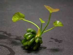 1 x NYMPHOIDES AQUATICA - Banana Lily live aquarium plant tropical fish tank