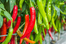 Vietnamese Chile Pepper Ot Hiem Seeds! Hot Non GMO Culinary or Ornamental Plant
