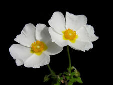 1 Plant Cistus Salvifolius Rock Rose A Flowers White Height 20-40cm