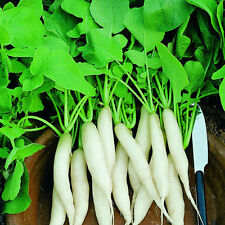 400 Semi di Ravanello Lunga Bianco Daikon / Orto Verdure Piante