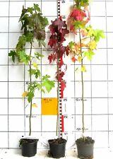 Liquidambar styraciflua  /  Amberbaum   -Pflanze-