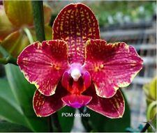 Taiwan Orchidee Phalaenopsis I-HSIN ISM998 peloric ein hat BT