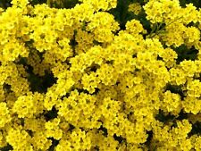 100 Yellow Alyssum Seeds Carpet Flower Sweet Royal Boarder Plant Garden Seed 288