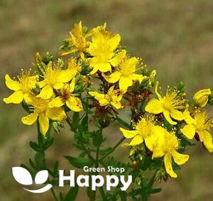 ST JOHNS WORT SEEDS - 4500 seeds - HERB perennial - Hypericum perforatum