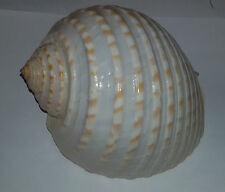 Conchiglia Shell TONNA TESSELLATA  mm 150  Mozambico