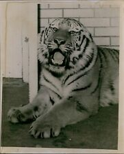 Lg815 1964 Orig Photo Siberian Tiger Majestic Big Cat Wild Animal in Captivity