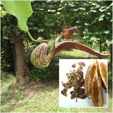 Aristolochia ringens 50 Seeds, Aristolochiaceae, Gaping Pipevine,Dutchman's pipe