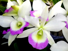 Blc Hawaii Stars ~Pink Lace~ Fragrant Cattleya Mericlone Orchid Plant