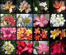 2 Hawaiian Lei Tree Plumeria frangipani 2-tip cuttings Rare Exotic Fragrant