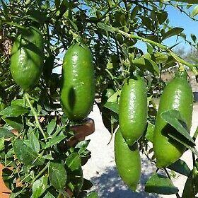 Pianta di Limone Caviale (Finger Lime) VASO 24CM