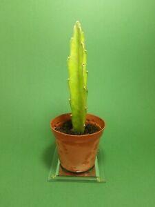 x1 PITAYA rooted cutting 15 cm live plant Dragon Fruit Hylocereus Fresh cacti