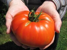 GOLIATH HYBRID TOMATO SEEDS ****BULK 50 COUNT PKT**** 1 POUNDERS * BRIGHT RED