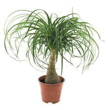 Red Ponytail Palm (Beaucarnea guatemalensis) 10 Fresh Seeds