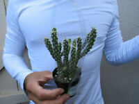 Cholla Cylindopuntia Cactus -7