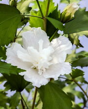 "White Pillar Hibiscus - 4"" pot - Rose of Sharon - Proven Winners"