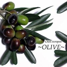 ~Olive Tree~ ANCIENT TREE Olea europaea to 10°F Zone 8 Arbequina LIVE Potd PLANT