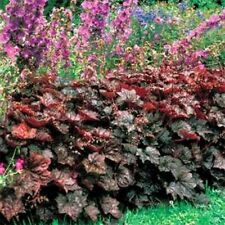 Coral Bells- (Heuchera Micrantha) Palace Purple- 50 Seeds