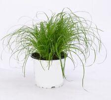 Indisches Zitronengras Süßgras Zimmerpalme grüne Büropflanze immergrün exotisch