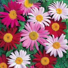Dalmatian Pyrethrum Seed 50 Seeds Buhach Chrysanthemum Cinesariaefolium Hot D018