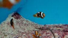 Marine Aquarium, Live Tomato Clownfish Pair