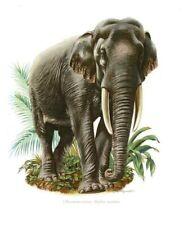 Impression Affiche papier Histoire Naturelle l'Elephant d'Asie .Elephas maximus
