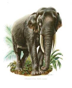 Impression Affiche Poster Image papier Histoire Naturelle l'Elephant d'Asie