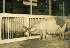 France Paris Porte de Versailles Agricultural Fair Pigs Cochon Press Photo 1937