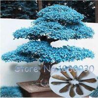 50PCS rare blue American maple mini bonsai bonsai tree seeds Maple Seed bonsai H