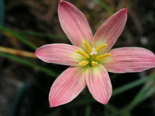 Rain Lily, Zephyranthes Sunset seed strain, 3 bulbs, RARE, habranthus