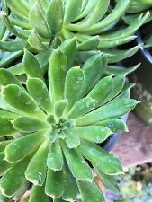 Sedeveria ~SET OLIVER-Hardy perennial succulent, sempervivum, echeveria cutting