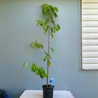 Giant Tropical Fruit SOURSOP TREE Guanábana 5-6' tall GIVE FRUIT THIS YEAR