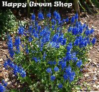 Speedwell - Royal Blue - 1000 seeds - Veronica teucrium - Perennial Flower