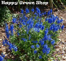 Speedwell - Royal Blue - 1000 seeds - Veronica teucrium - Perennial Flower