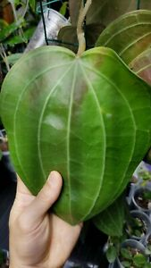 Super Rare Hoya latifolia (formerly aff. clandestina) IML 1590 Gigantic Leaves🌱