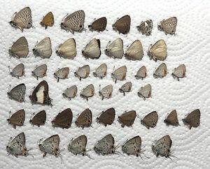 Lycaenidae mix, 45 from Ambon (16)