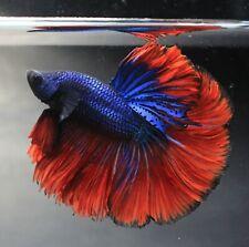Thai Betta Live Fight Fish Blue Flower Aqua Pet Red Office Garden Plakat Decor